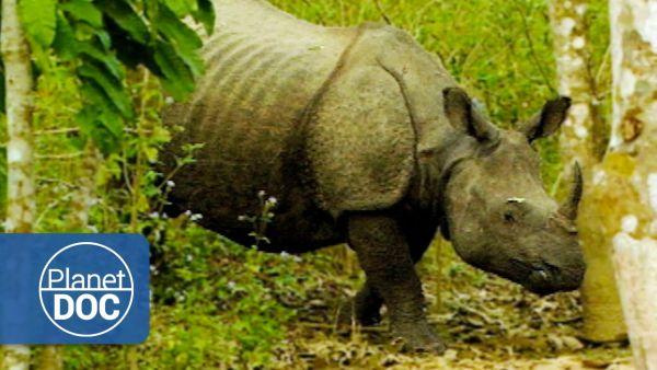 Um seine Rhino's zu schützen, hat Indien Wilderer zum Abschuss freigegeben